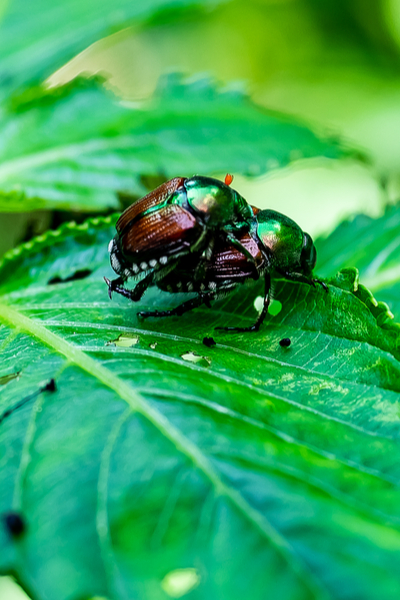 Japanese beetles mating