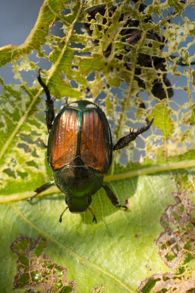 stop japanese beetles