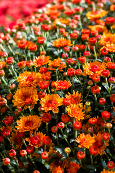 pinching back mums to get mums to bloom this fall
