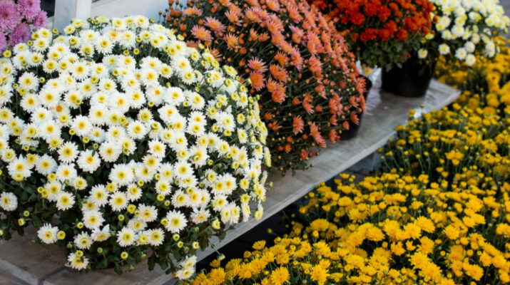 keep mums blooming
