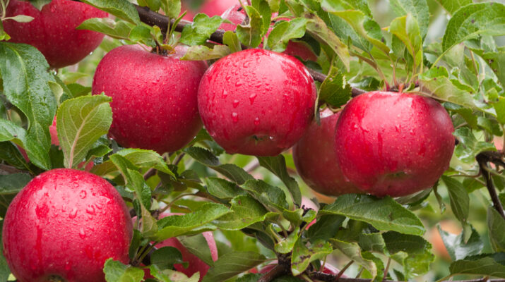 how to plant fruit trees