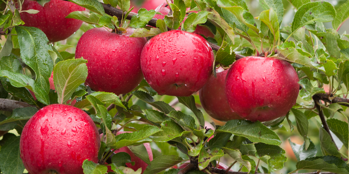 When Should Fruit Trees Be Planted?