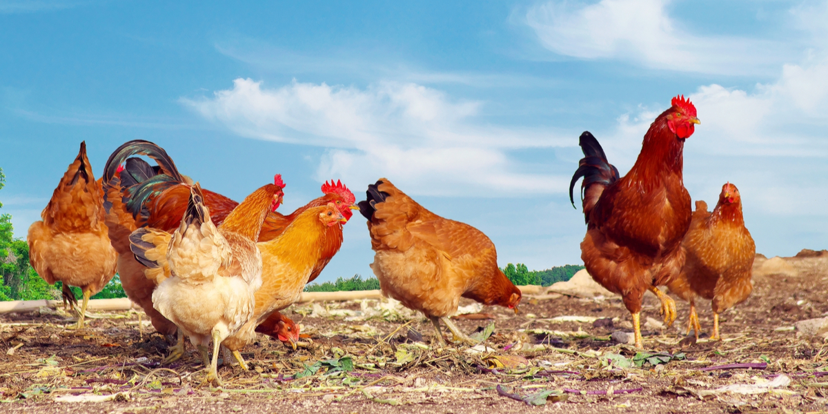 Gardening With Chickens, The Secret To Less Weeds, Pests