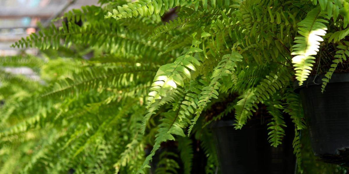 dividing ferns