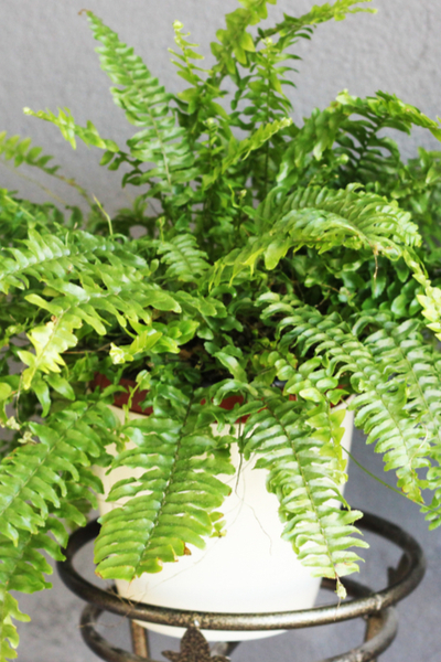dividing ferns and bringing ferns indoors for winter