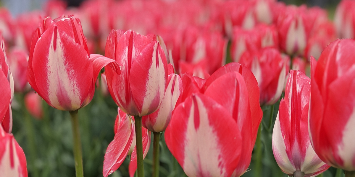 spring tulip display