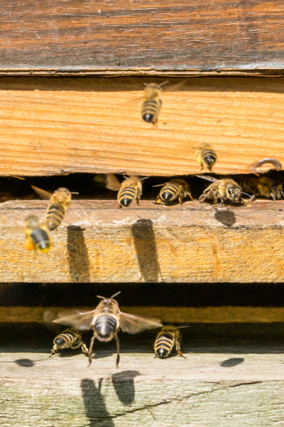 how honey bees survive winter - cleansing flights