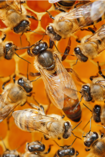 the queen bee - how honey bees survive winter