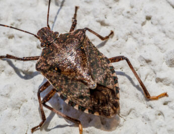 stopping stink bugs