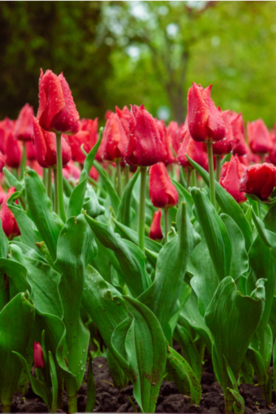 planting and spacing tulips