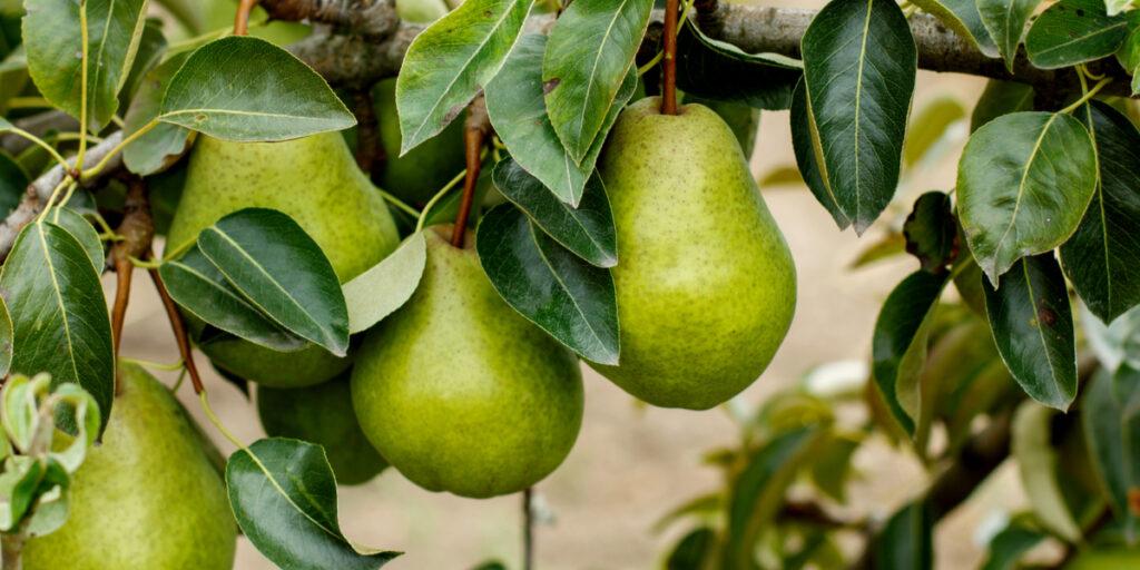 planting pear trees