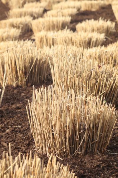 cut ornamental grasses back in the fall