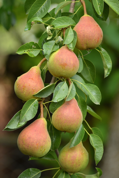 moonglow pears