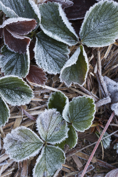 protecting strawberries in the winter