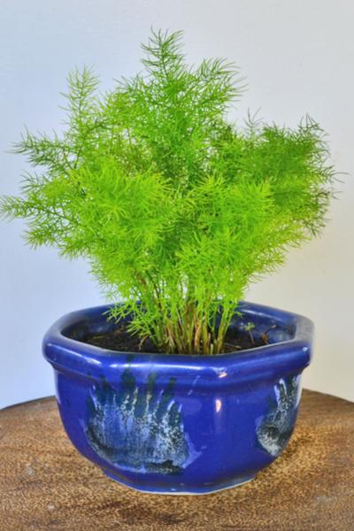 Easy care asparagus fern house plant
