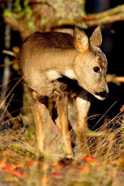 wintertime deer damage