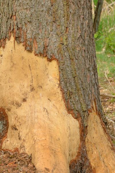 prevent wintertime deer damage