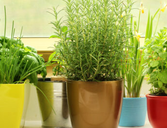 growing herbs on a windowsill