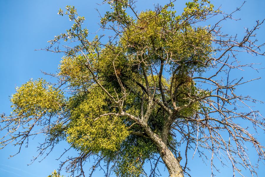 The Mistletoe Plant How A Thieving Plant Became A Christmas