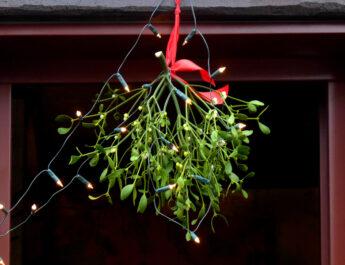 mistletoe plant