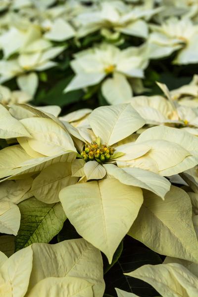 keep poinsettias blooming - white poinsettias
