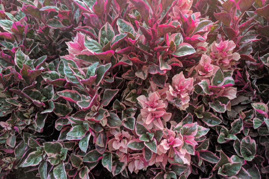 4 Evergreen Shrubs To Add Great Year Round Color To Your Landscape