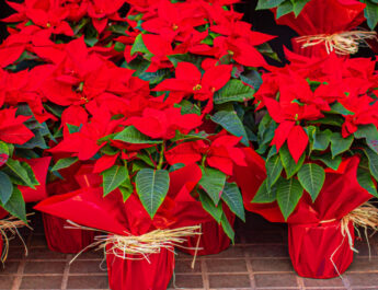 keep poinsettias blooming