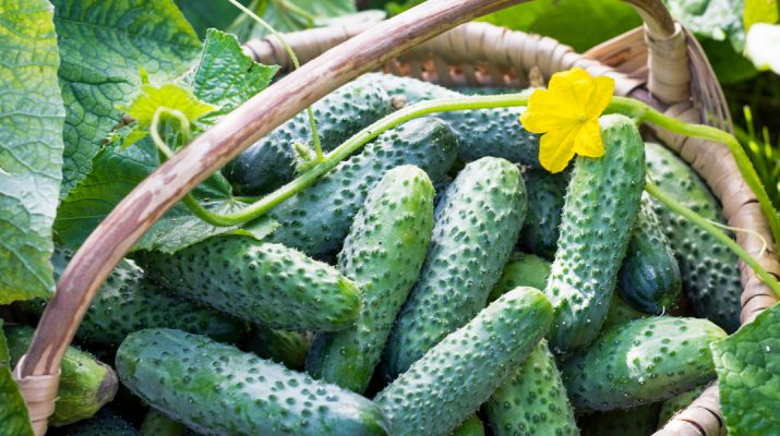 secrets to growing cucumbers