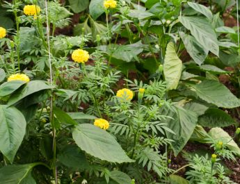 how to use companion planting