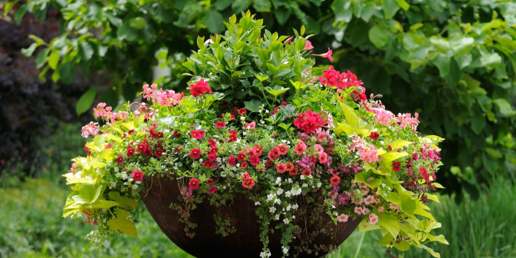trailing plants for baskets