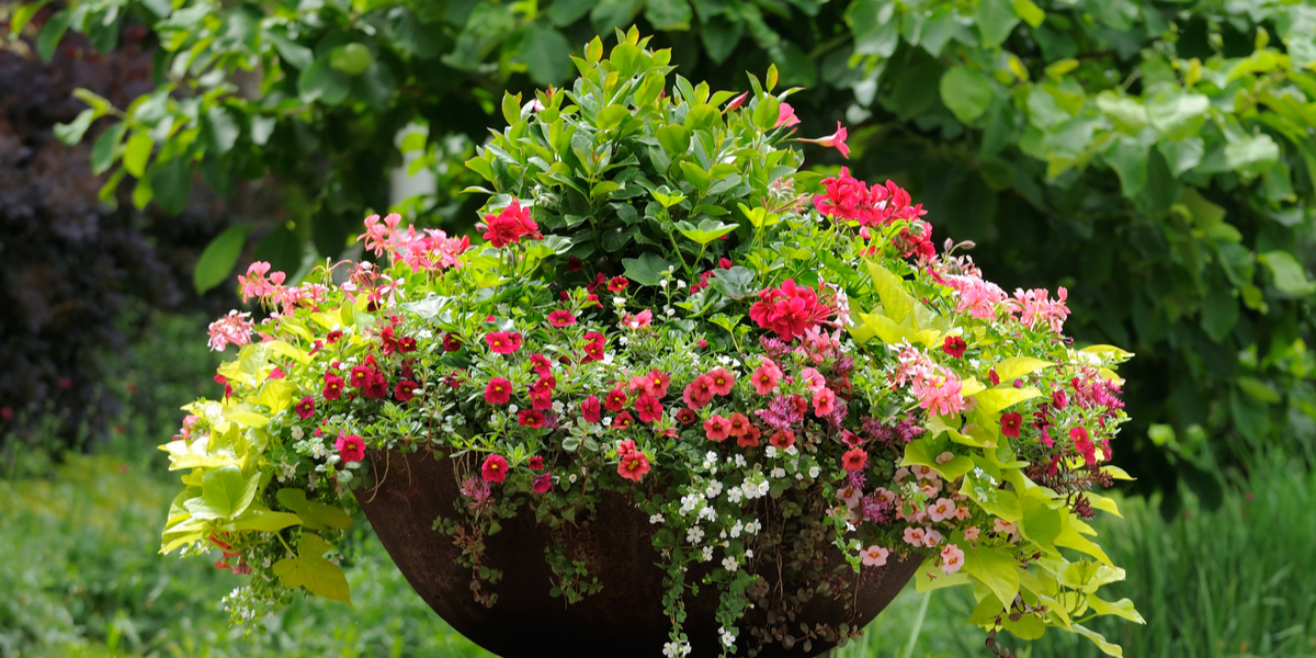 3 Great Trailing Plants For Hanging Baskets Containers Potted Plants
