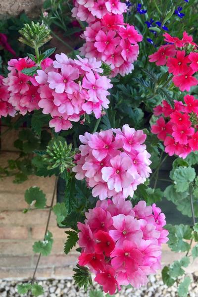 trailing plants for hanging baskets - verbena