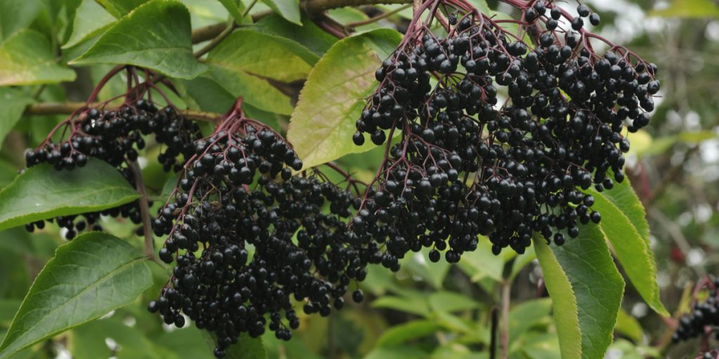 growing elderberries