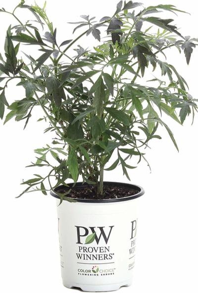 planting bushes