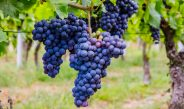 Growing Grapes – How To Plant & Maintain Grape Vines