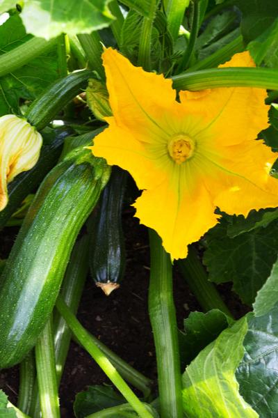 secrets to growing zucchini