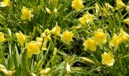 Dividing Daylilies In Early Spring – How To Create More Plants With Ease!