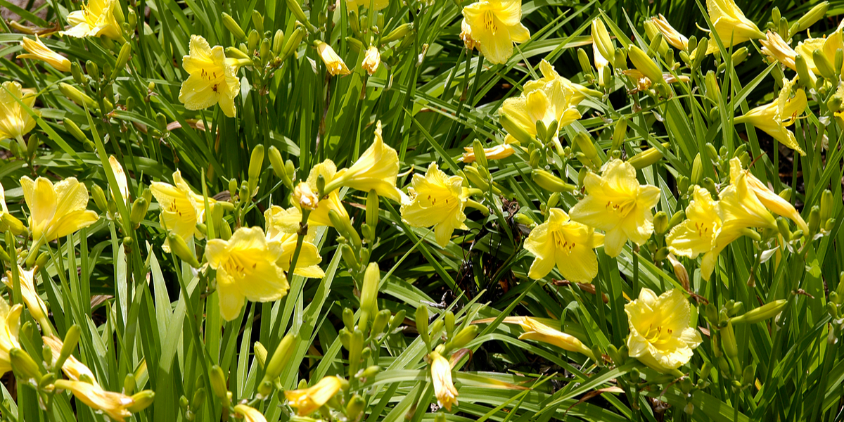 dividing daylilies in early spring