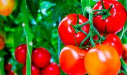 How To Best Fertilize Tomato Plants For An Incredible Harvest!