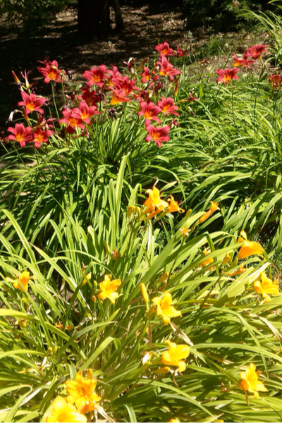dividing daylilies in the spring
