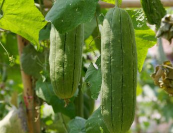 growing luffa gourds