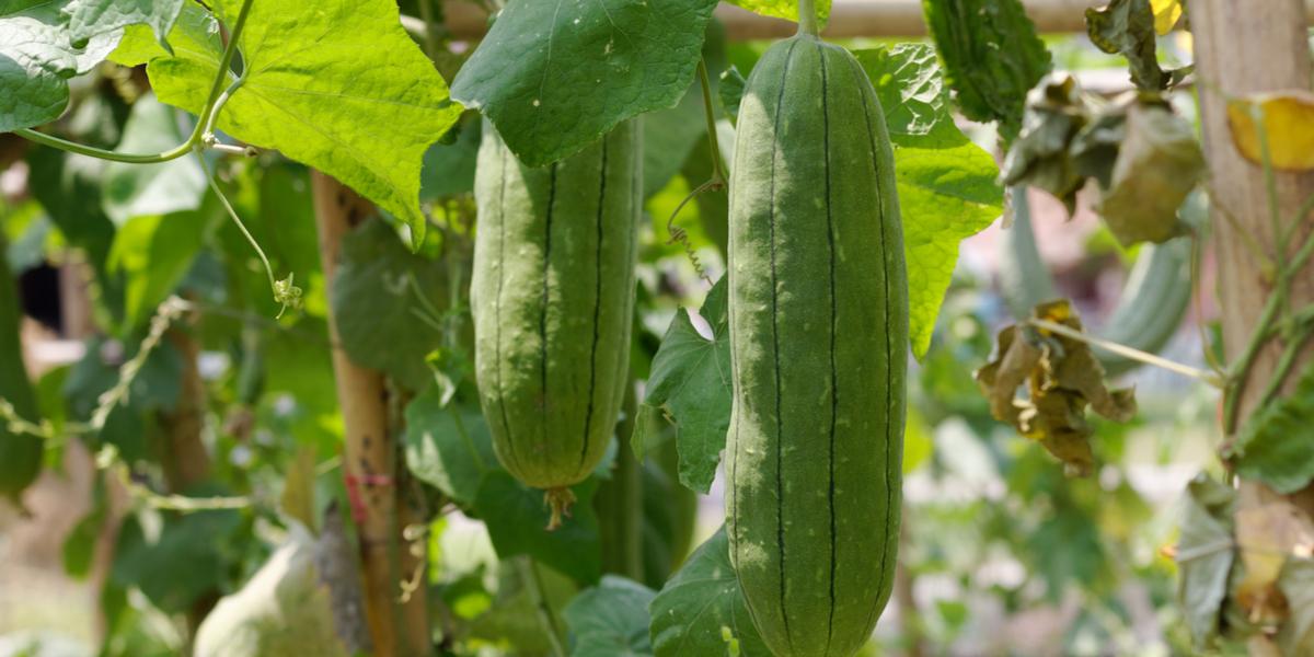 growing luffa gourds