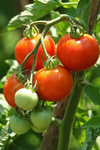 fertilizing tomato plants