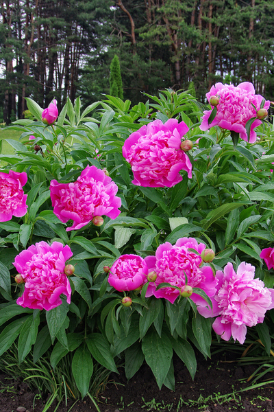 Once established, peony bushes can grow for 50 years or more.