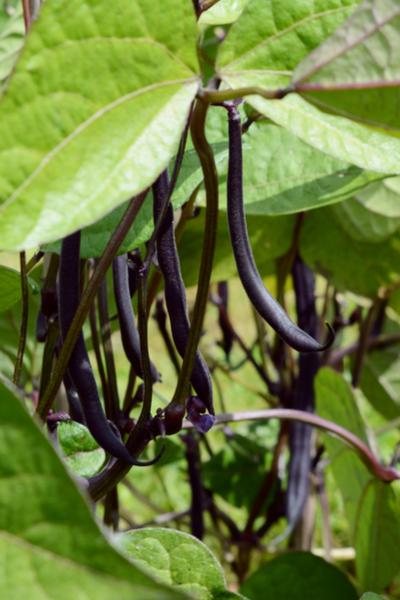 growing purple green beans