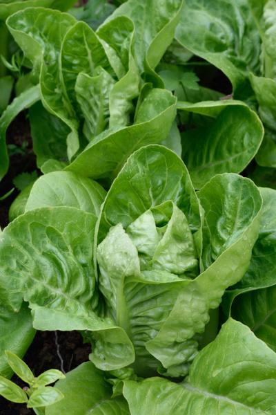 spring crop - romaine lettuce