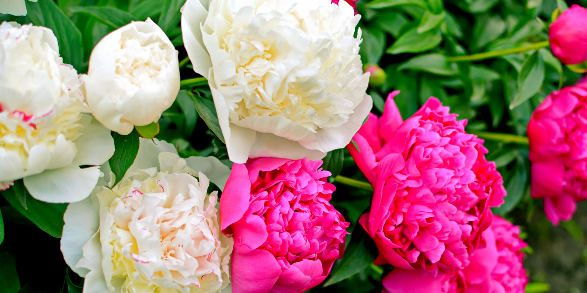 Growing Peony Bushes How To Keep Peonies Blooming Year After Year