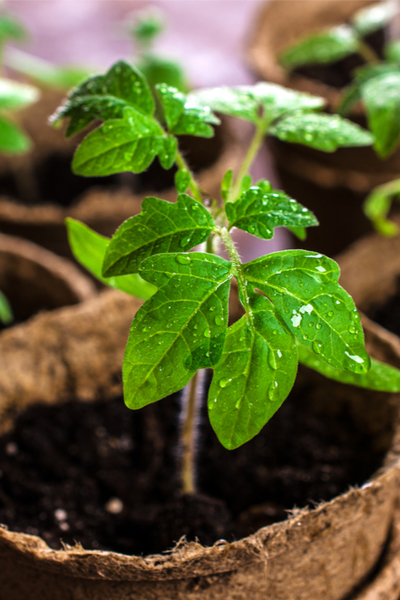 Young seedlings can benefit from slow-release fertilizers in the soil.