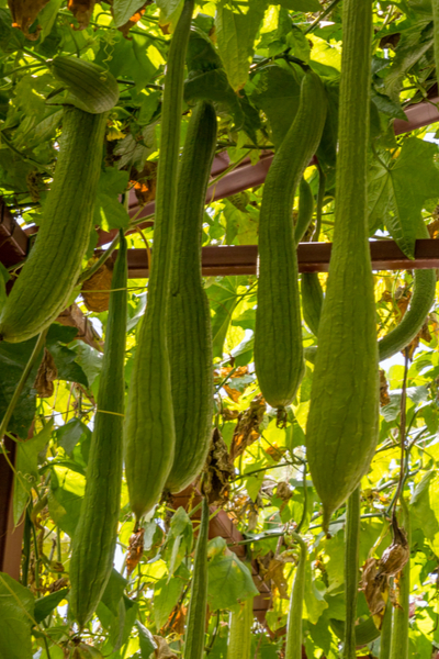 trellised luffa in an arbor