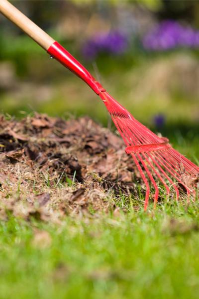spring compost pile - raking leaves
